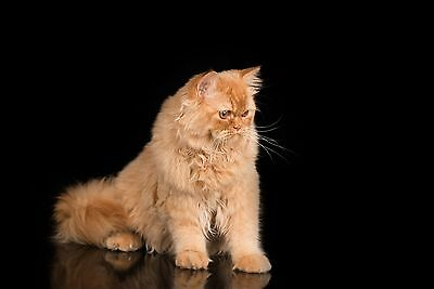 British Longhair Cat Photo Stock Collection. HQ Pictures. Royalty Free JPG.