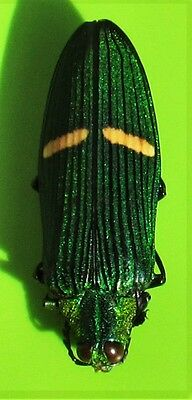 A lot  2 Jewel Beetle Wood Boring Catoxantha opulenta opulenta FAST FROM USA