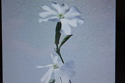 10 Seeds african Dream root,Silene capensis#375