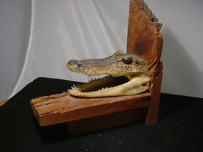 """Real 6"""" FLORIDA  ALLIGATOR HEAD genuine  skull jaw COIN BANK/BOOK ENDS"""