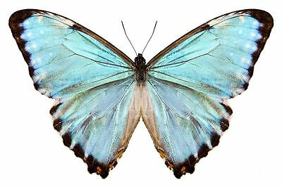 A Blue Morpho Butterfly Morpho portis thamyris Male Papered/Folded FAST FROM USA