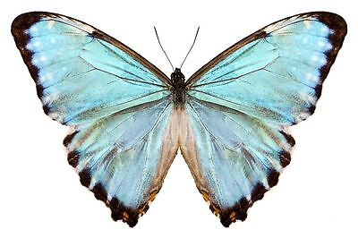 A Blue Morpho Morpho portis thamyris Male Papered/Folded FAST SHIP FROM USA