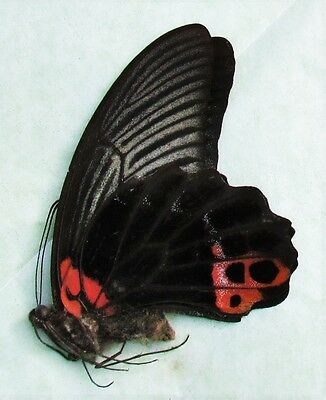 Lot of 2 Great Mormon Papilio memnon agenor Folded/Papered FAST FROM USA