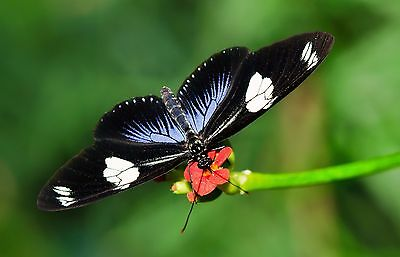Doris Longwing Butterfly Heliconius doris obscurus Papered FAST SHIP FROM USA