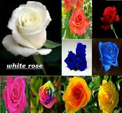 Home Garden white  rose seed   Beautiful Plant Flower quality seeds