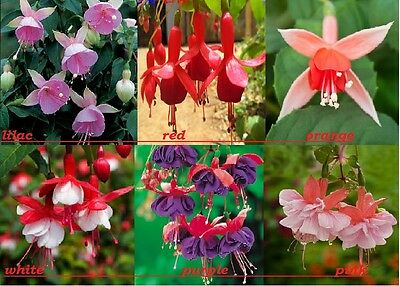 Rare pink red orange purple white Beautiful Plant fuchsia Flower quality seeds