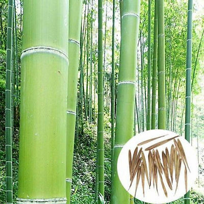 Wholesale100+ Pcs Seeds Phyllostachys Pubescens Moso-Bamboo Seeds Garden Plants