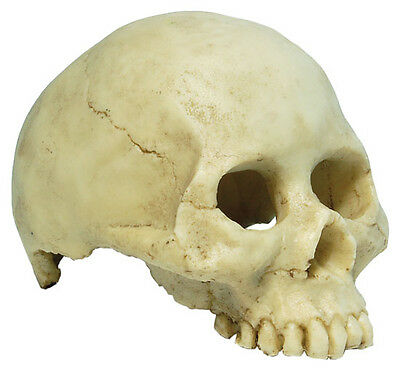 Human Skull, Aquarium Ornament Fish Tank Terrarium Vivarium Ornament Decoration