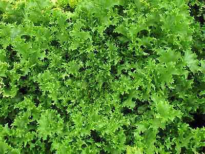 """Endive Seeds """"Wallone"""" (Appox 300 Seeds) Excellent Green Salad"""