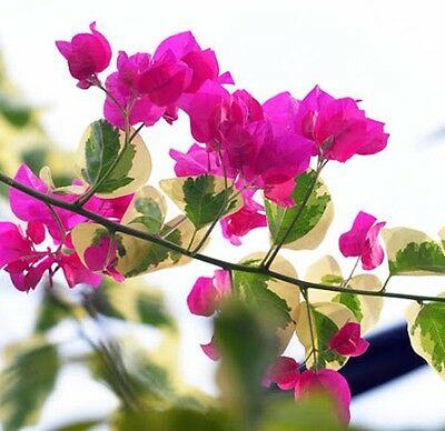 HOT PINK ICE Bougainvillea variegated compact flowering plant in 140mm pot