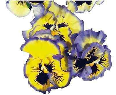 40 Winter Flowering Pansy Frilly Sizzle Blue Yellow   Bedding Patio Plug plants