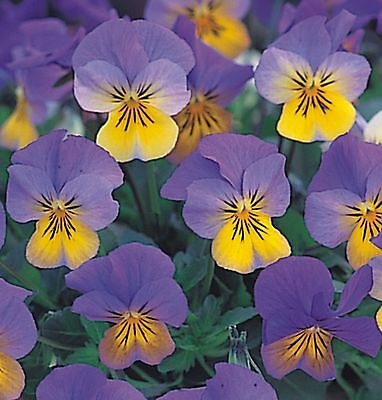 40  Winter Flowering Trailing Viola Blue and Yellow  Basket Plant Plugs