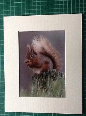 CAIRNGORMS  RED SQUIRREL EATING NUT. 10x8 MOUNTED PRINT