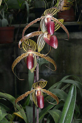 Paphiopedilum Hung Sheng Eagle slipper orchid Large plant