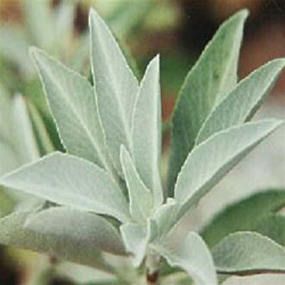 WHITE SAGE Salvia apiana culinary herb plant in 100mm pot