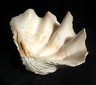 """Stunning 17"""" HUGE OLD GIANT CLAM LARGE SEASHELL TRIDACNA GIGAS Home Garden Decor"""