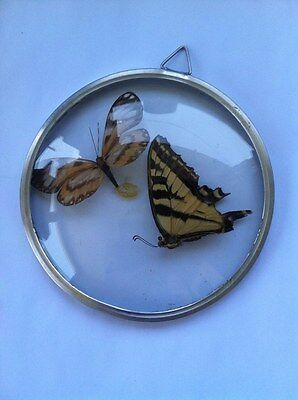 Vintage Collectibles Real Speciem Butterflies Beautiful Oddity Framed