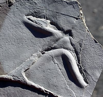 Large Fossil Bird Track from Utah #7 • Raindrops & Ripple Marks on Reverse Side