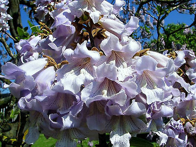 PRINCESS TREE (Paulownia Tomentosa) 250+EXTRA seeds (#30)