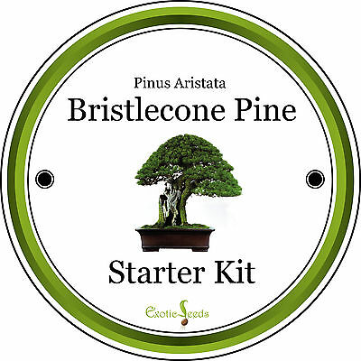 Bristlecone Pine-Complete Bonsai Growing Kit & Gift, 8 Seeds, Personalised Opt.