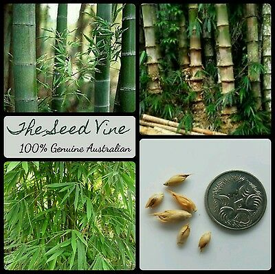 20+ MALE BAMBOO SEEDS (Dendrocalamus strictus) CLUMPING Privacy Grows Fast
