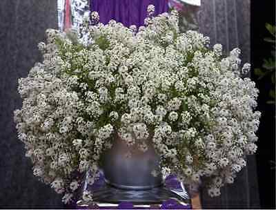 A 1g (approx. 2500)  sweet alyssum seeds SNOWCLOTH white scented blooms