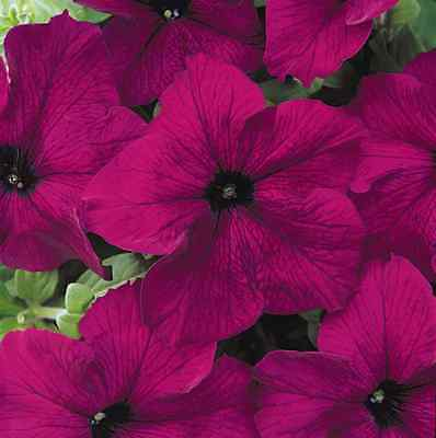 A 20 large flowered petunia seeds TOUHA H BURGUNDY nice ruffled flowered blooms