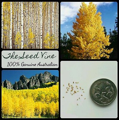 20+ QUAKING ASPEN TREE SEEDS (Populus tremuloides) Autumn Gold Yellow Medicinal