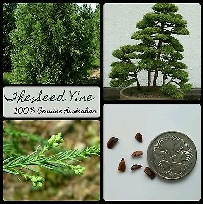 50+ JAPANESE CEDAR SEEDS (Cryptomeria japonica) BONSAI Sugi Evergreen Ornamental