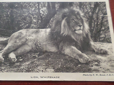 Postcard Lion Whipsnade Zoo Bedfordshire