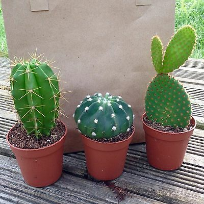 Set of 3 Mixed Cactus Plants In 6cm Pots