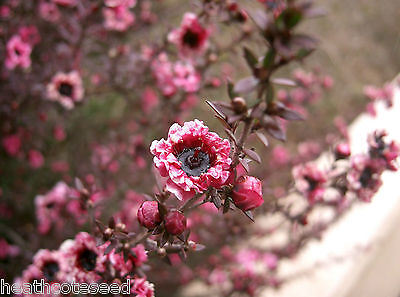 MANUKA MYRTLE / BROOM TEA-TREE (leptospermum scoparium) Seeds