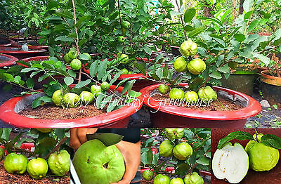 """SEEDS – Extremely Huge Giant Guava, Dwarf """"Kilo Guava"""" Shrub, Tree 1000 grams!"""
