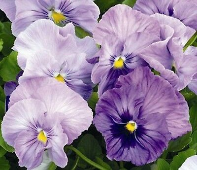 40 Winter Flowering Pansy Select F1 Lavender Shades   Bedding Patio Plug plants