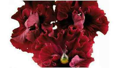 40 Winter Flowering Pansy Frilly Sizzle Velvet Rose    Bedding Patio Plug plants
