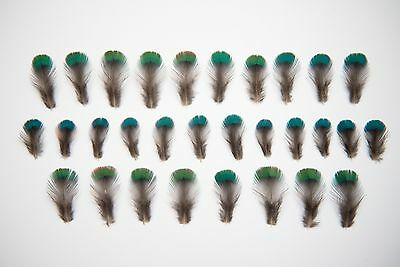 30 x Natural Green Blue + Black Iridescent Pheasant Feathers 2-3cm Small Little