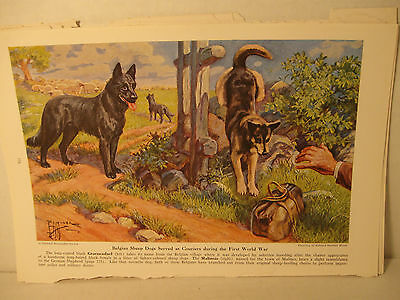 Vintage Working Dogs of the World Belgian Sheepdog Art Plate, Nat'l Geo. 1960