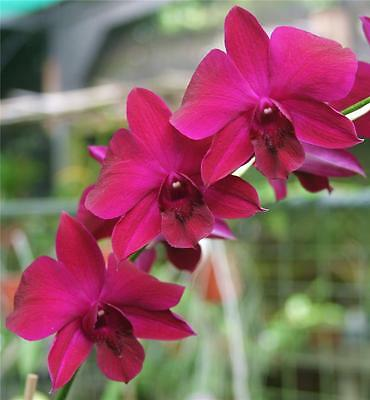 ORCHID - Dendrobium Supernova 'Red' -  PROLIFIC BLOOMING FLOWERING SIZE