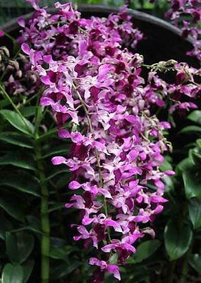 ORCHID - Dendrobium Serene Chang 'Pink' x Stratiotes