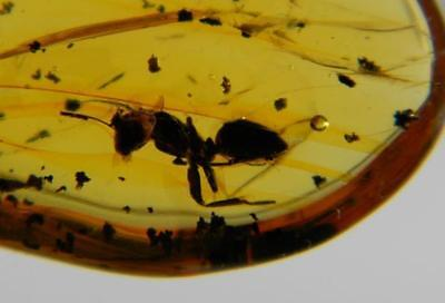 Amber Dominican Republic Ant Rare Insect Collectible Stone Gem 0.9g