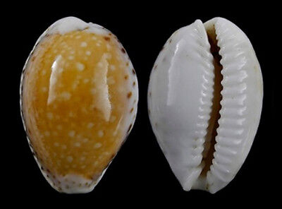 Conchiglia Shell CYPRAEA CERNICA LEFORTI Easter 24,4 mm # EXCELLENT QUALITY