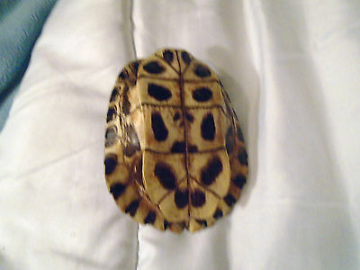 Unique Turtle Shell Taxidermy Red Eared Slider Almost Perfect Markings