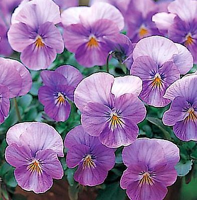 40  Winter Flowering Trailing Viola Lilac Rose  Basket Plant Plugs