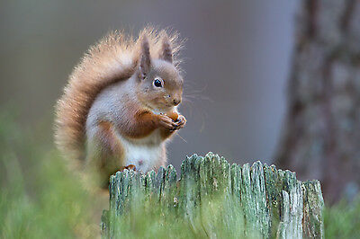 SQUIRREL IN CAIRNGORMS 10x 8 MOUNTED PRINT READY TO FRAME