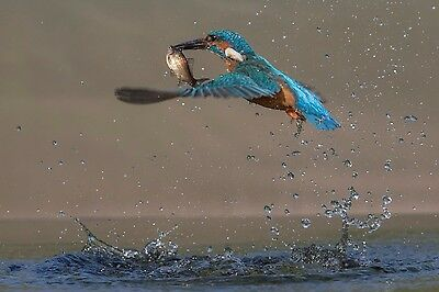 KINGFISHER ESCAPING WITH FISH.  MOUNTED 10x8 SIGNED PRINT