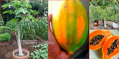 "SEEDS - Self-pollinating Dwarf Papaya Tree ""TR Hovey"" (Carica papaya) Easy Grow!"