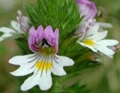 Eyebright herb Eyebright cut Euphrasia 1000 g 1 kg DAC