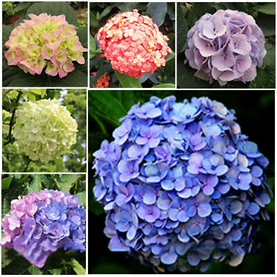 pack Mixed Coloured Amazing Beautiful Hydrangea Flower Seeds