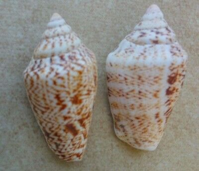 Pair Strombus persicus  juvenile  shell 41 & 42 mm  F+++ from Israel
