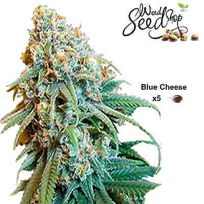 Cannabis Seeds, 5 Pack, Feminized Blue Cheese